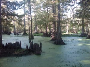 Swamp landscape with trees emerging out of algae filled water